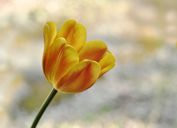 tulip_photo