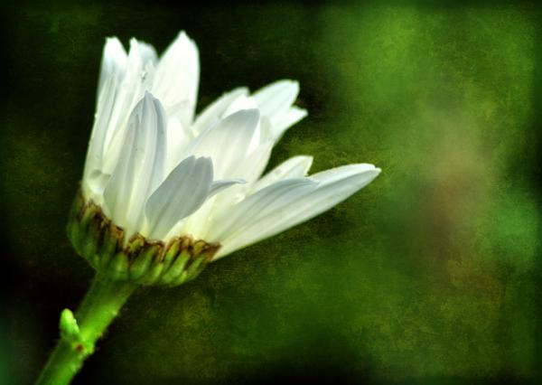 texture_daisy2