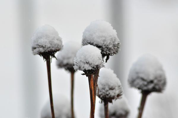 snowy coneflowers