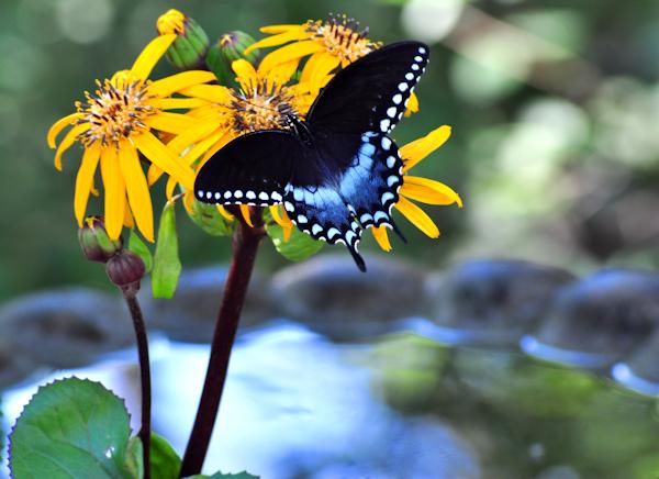 Ligularia Desdemona and Spicebush Swallowtail Butterfly